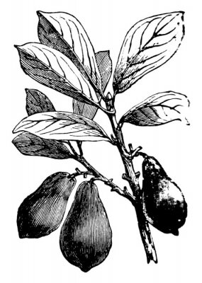 Póster Avocado vintage illustration.