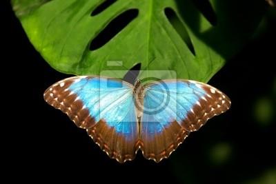 azul Morpho (peleides de Morpho)
