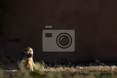 Baboon in morning light
