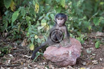 Babuino del bebé en Tanzania
