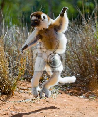 Bailando Sifaka saltando. Madagascar. Una excelente ilustración.