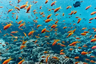 Póster Banco de peces anthias en el arrecife de coral