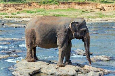 Póster Baño de elefantes en el río Sri Lanka