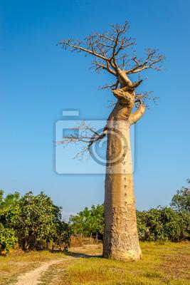 Baobab tree near Morondava