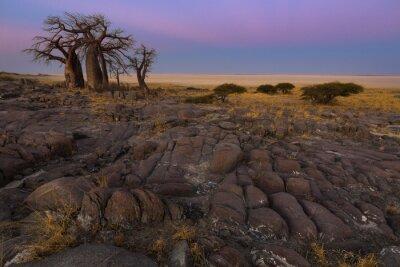 Póster Baobabs en la luz de la mañana