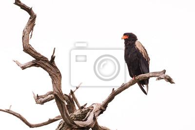 Bateleur en el árbol muerto