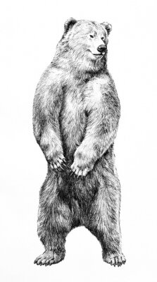 Póster Bear illustration of dangerous animal standing on hind legs, hand drawn grizzy bear pencil sketch, wild animal