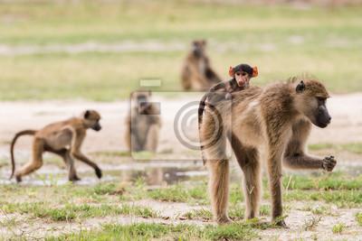 bebé babuino joven en las madres de nuevo