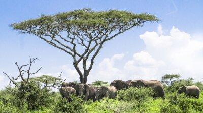 Póster Bebé elefante ponerse al día con su manada de elefantes de pie bajo un árbol de Acacia en el paisaje de Serengeti Savannah