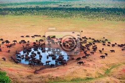 Big herd ob african buffalo in water hole