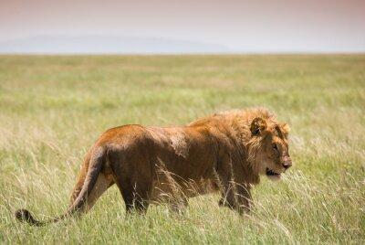 Big Young Lion en el Parque Nacional Serengeti