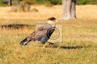 "Bird ""Karakara"". Parque Nacional Torres del Paine."
