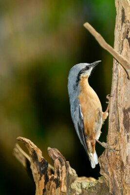 birds sitta europaea