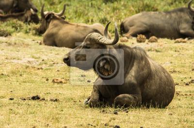 Bisonte Africano nella Savana