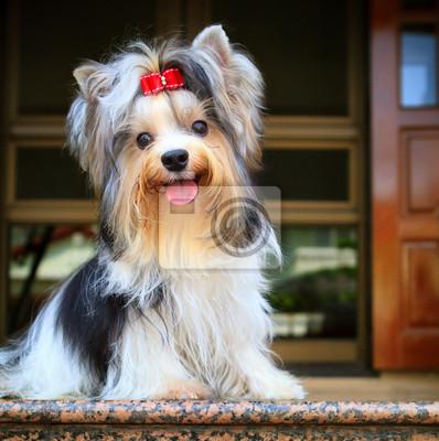 biver yorkshire terrier perro en casa