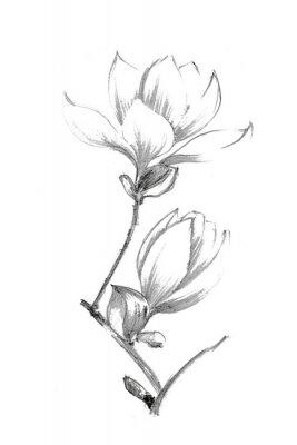 Póster Black-white illustration with a pencil. White magnolia. Elegant botanical illustration.