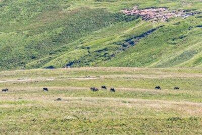 Black wildebeest, Connochaetes gnou, grazing in Golden Gate
