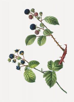 Póster Blackberry bush