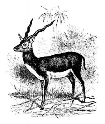 Póster Blackbuck vintage illustration.