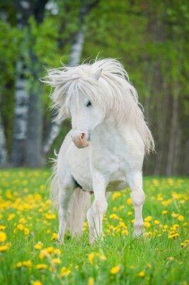 Póster Blanco pony shetland con hermosa melena larga corriendo en el campo con dientes de león