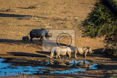 Blanco rinoceronte de agua potable en el norte de Namibia, África