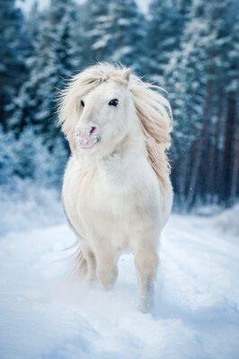 Póster Blanco shetland pony corriendo en la nieve en invierno