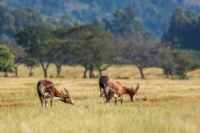 Blesbuck in Mlilwane wildlife sanctuary, Swaziland