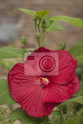 Blooming flor del hibisco rojo en el jardín