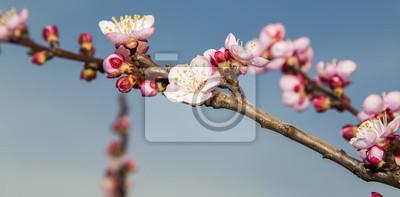 Blooming rama de cerezo en el cielo azul
