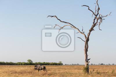 Blue wildebeast y el árbol