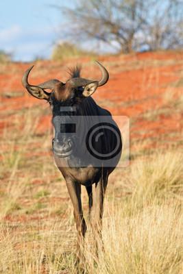 Blue wildebeest antelope, África