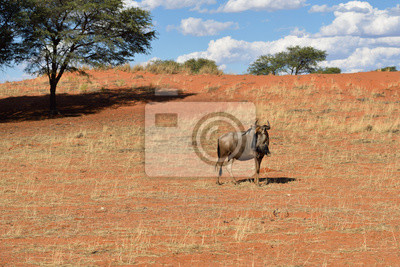 Blue wildebeest antelope en Kalahari, África