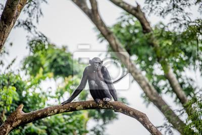 Bonobo en un árbol en el fondo de un bosque tropical. República Democrática del Congo. África.