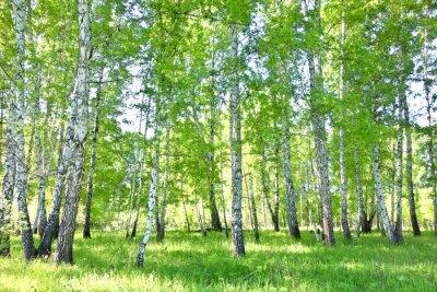 Póster bosque de abedules