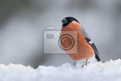 Bouvreuil pivoine sous la neige