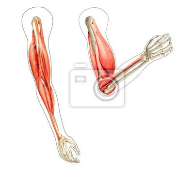 Brazos diagrama anatomía humana, mostrando los huesos y los músculos ...