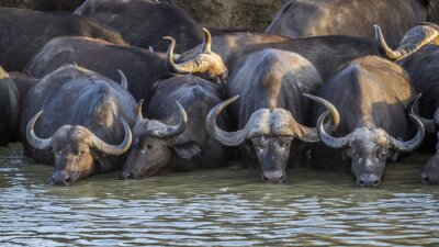 Búfalo africano en el Parque Nacional Kruger, Sudáfrica; Especie Syncerus Caffer familia de Bóvidos