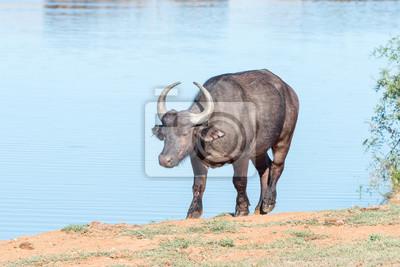 Búfalo africano en una presa