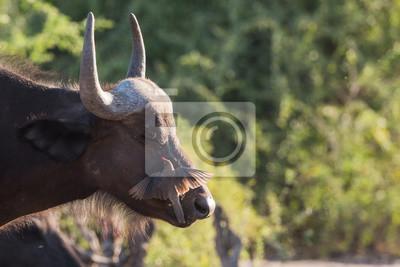 Búfalo y oxpecker