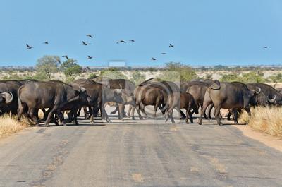 Búfalos de cruzar la carretera en el Parque Nacional Kruger, Sudáfrica