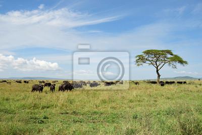 Búfalos en Serengeti, Tanzania, África