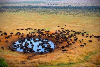Buffalo en la fuente