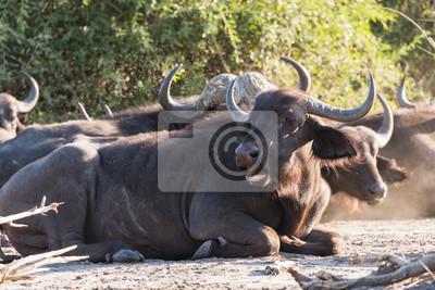 Buffalo grupo sentado