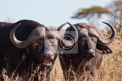 Buffalo par