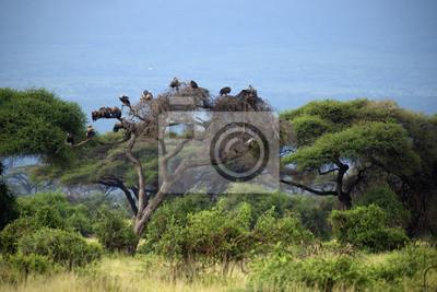 Buitre en Amboseli