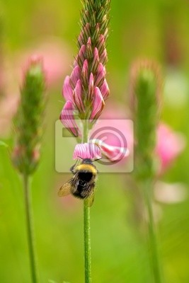 Bumble Bee en un prado de flores silvestres