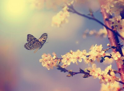 Póster Butterfly and cherry blossom