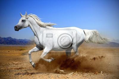 caballo árabe corre al galope en el desierto de polvo