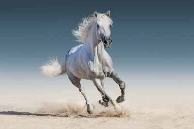 Póster Caballo blanco correr galope