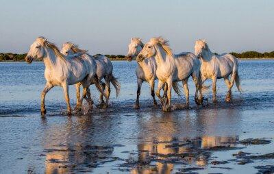 Póster Caballos blancos de Camargue funcionan en la reserva de naturaleza de los pantanos. Parc Regional de Camargue. Francia. Provence. Una excelente ilustración